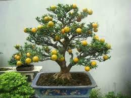 lemon tree bonsai