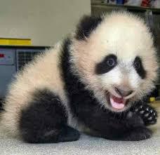 Panda Mascara Meme - cool 26 panda meme mascara wallpaper site wallpaper site
