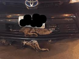 beautiful bobcat stuck in car grill rescued on thanksgiving