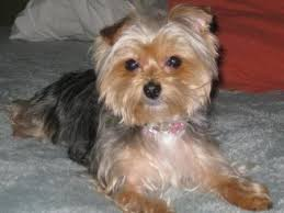 shorkie grooming styles pictures http www pic2fly com pictures
