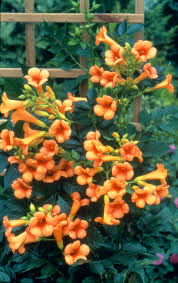 indian summer trumpet vine monrovia indian summer trumpet vine