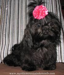 affenpinscher alberta blue shih tzu black shihtzu puppys gold red liver lavender lilia white