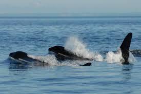 mama u0027s boys u0027 may explain killer whale menopause