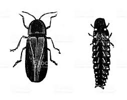 antique illustration of male and female common glowworm stock