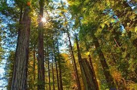 California forest images World 39 s largest redwood forest outside of california is coming jpg