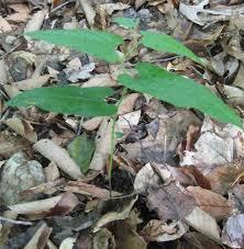 virginia native plant society plants north carolina native plant society