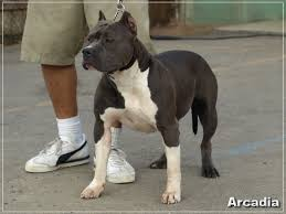 american pitbull terrier 9 months old pitbull puppies pitbull puppies jpg blue red nose pitbulls