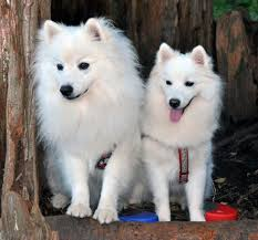american eskimo dog growling nuuktok american eskimo brags