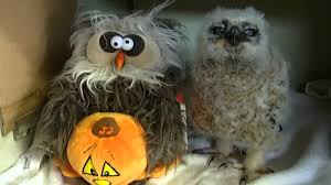 adorable baby owl dances and sings along with stuffed halloween