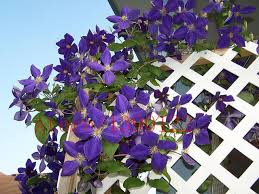 clematis balkon 100 pcs blue clematis hybridas seeds potted balcony clematis
