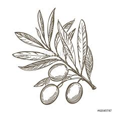 vector sketch of olive tree branch stock image and royalty free