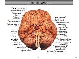 Gross Anatomy Of The Brain And Cranial Nerves Worksheet Bio211 Laboratories 8 U0026 9 Brain Cranial Nerves Spinal Cord Sheep