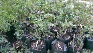 Ackee Fruit Tree - forum where can i buy ackee fruit tree in australia