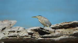 striated heron i am safari