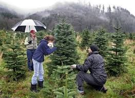 christmas tree farms and u cut trees the seattle times