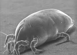 Tiny White Mites In House by Mattresses Dust Mites And Skin Cells How Gross Does Your