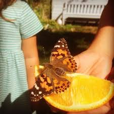 insect lore live caterpillars butterflies insects and gifts