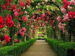 rose flower garden hd wallpaper www sieuthigoi com