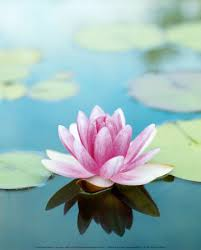 Blue Lotus Flower Meaning - the lotus is the official flower of india it represents long life