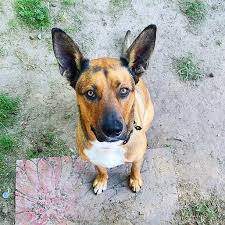 belgian shepherd mix harley the belgian malinois mix by steph pro pack