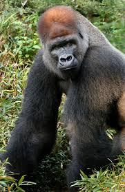 Gorilla by Gorilla Dallas Zoohoo