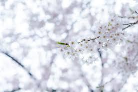 free stock photos of cherry blossom pexels