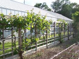 growing grapes in your backyard grimm u0027s gardens