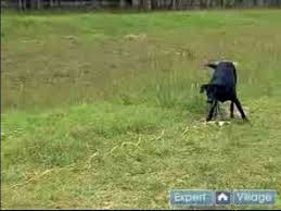 train your dog to hunt birds how to train puppies to retrieve