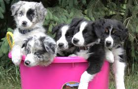 australian shepherd indiana welcome to rising sun farm rising sun farm border collies