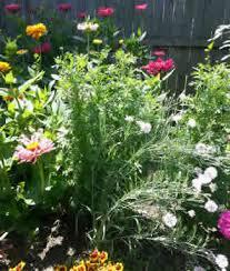 straw flowers strawflowers easy to grow useful and pretty flower patch