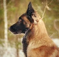 belgian shepherd ears 3152 best caninos images on pinterest german shepherds german