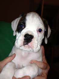 boxer dog white for sale kc white boxer dog with brindle patches devizes