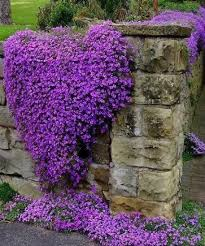 cottage garden flowers purple campanula bell flower for cottage garden u2013 start a easy