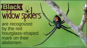 Black Widow Spiders Had A - hair raising facts about the black widow spider