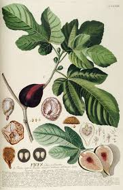 Names And Images Of Flowers - common fig wikipedia