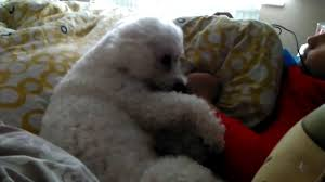 poodle x bichon frise in bed with dog bichon frise youtube
