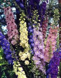 delphinium flowers 25 delphinium magic fountains mix flower seeds mix