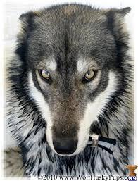 australian shepherd mixed with husky best 25 wolf husky ideas on pinterest wolf photography
