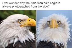 Animal Meme - the glorious american bald eagle animals know your meme