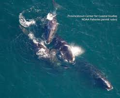 rare sighting of bowhead whale off cape cod massachusetts