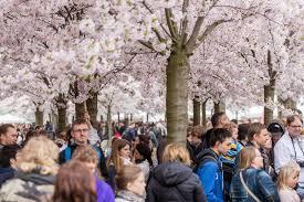celebrate the cherry blossom trees in copenhagen 29th of april