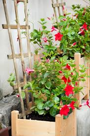 mandevilla sanderi or dipladenia sanderi license for 31 00 on