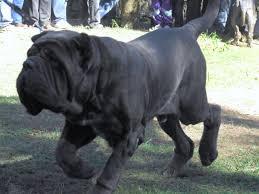 serena parker afghan hound judge mastiff dog breeds fun animals wiki videos pictures stories