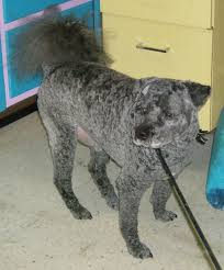 lessons from a groomer what u0027s a teddy bear cut pethelpful