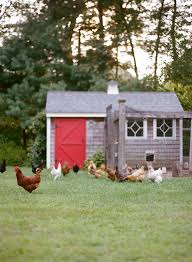 how to raise backyard chickens the homegrown paleo cookbook