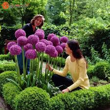 purple giant allium beautiful flower seeds garden plant rare