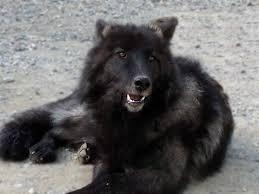 belgian sheepdog breeders ontario wolfdog breeder reviews