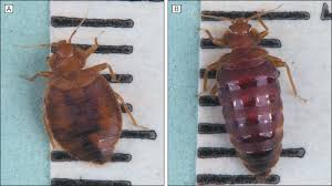 I Found A Bed Bug Now What Bed Bugs Cimex Lectularius And Clinical Consequences Of Their