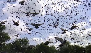 cuisine des pigeons voyageurs edition de bar le duc un lâcher d environ 20 000 pigeons voyageurs