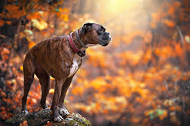 boxer dog training tips boxer dog info and health tips